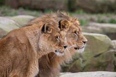 Beautiful (wendyderoover) Tags: animals zoo lions bigcats dierentuin leeuwen katachtigen