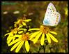 Farfalla - Majella