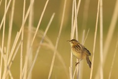 Cisticole des joncsCisticola juncidis - Zitting Cisticola DSC07397 (cedric provost) Tags: france bird bretagne cedric oiseau provost finistere guisseny lecurnic