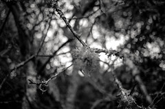 obfuscated echoes (Super G) Tags: trees blackandwhite bw film moss dof branches lichen selfdeveloped kodaktmax100 olympusom4 zuiko28mmf28 d7695mins68d11 20150619om4tmax100