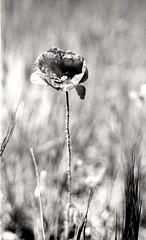Amapola (rodrigo.blackburn) Tags: blackandwhite flower spain bokeh d76 poppy burgos castillaylen fujiacross100 olympusom2n nikoncoolscaniv zuiko50mm18