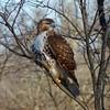 Red-tailed Hawk (Dendroica cerulea) Tags: redtailedhawk buteojamaicensis buteo buteoninae accipitridae accipitriformes aves birds hawk raptor birdofprey winter raritanestuarycbc johnsonpark highlandpark middlesexcounty nj newjersey fav10 fav20