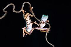 Hold it right there! (Explored) (hehaden) Tags: amphibian frog supertigerlegtreefrog supertigerlegmonkeytreefrog phyllomedusatomoptern two pair captivelight bournemouth