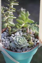 Blue hanging pot w/ ribbon + Echeveria Lola, Pachyveria Blue Pearl, Sedeveria Starburst, Sedums