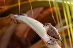 Sparrow (۞Thalib۞) Tags: sparrow birds arabia nature tamron150600mm canon7dmii