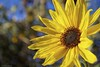 Staring at the sun.... (Joe Hengel) Tags: socal southerncalifornia sanjuancapistrano sunflower sunflowers bokeh winter theoc orangecounty oc outdoor flower flowers flowerpower yellow yard tree goldenstate outdoors outside vine
