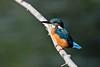 Blue Flash.... (klythawk) Tags: kingfisher alcedoatthis branch water nature autumn blue green orange grey brown nikon d500 sigma 150600mmc deltahide attenboroughnaturereserve beeston nottingham klythawk