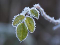 Feuillage givré (Kaya.paca) Tags: feuillage feuilles nature extérieur outdoor givre froid hiver végétal plante profondeurdechamp couleur winter hautesalpes antonaves france canon5dsr