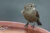 Brown-headed Cowbird (J.B. Churchill) Tags: bhco birds blackbirdsorioles brownheadedcowbird maryland patroseshouse places stmarys taxonomy callaway unitedstates us