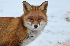 DSC_0181 (sylvette.T) Tags: animalsauvage renard fox snow neige 2017 nature