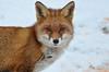 DSC_0181 (sylvettet) Tags: animalsauvage renard fox snow neige 2017
