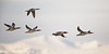 Female Common Mergansers Fly In Front of Mt. Evans (dcstep) Tags: mtevans snowcapped mergansers commonmergansers aurora colorado unitedstates us n7a5213dxo pixelpeeper dxoopticspro1131 allrightsreserved copyright2017davidcstephens urban nature urbannature bird bif birdinflight flyping flight wings canon5dmkiv ef500mmf4lisii ef14xtciii