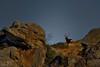 Je m'en vais... (Patrice Baud) Tags: cerf élaphe reddeer deer hirsch ciervo mammifère herbivore nikond7100 nikkor300f4 wild wildlife sauvage montagne cerdagne pyrénées cervus