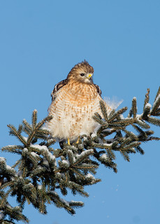Buse à épaulettes - Red-shouldered hawk