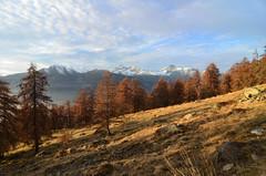 Golden larch trees (supersky77) Tags: fontainemore aosta valledaosta vallèedaoste lys valledellys larch larix larice larixdecidua autunno autumn fall alpi alps alpes alpen
