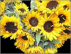 "Annuus  ""Munchkin"". (** Janets Photos **) Tags: uk hull plants flora flowers sunflowers yellow"
