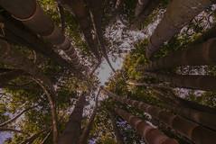 Tangled II (Josué Godoy) Tags: plants planta plante arbre arbol tree vine liana australia liane jungle jungla selva wildlife
