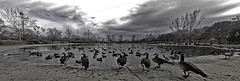 Tingley Beach Park, Albuquerque, New Mexico, USA. Canada Geese (Branta canadensis) in the foreground. (cbrozek21) Tags: albuquerque tingleybeach citypark pond panorama water waterfowl ducks geese canadageese brantacanadensis