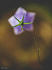(Kalev Lait photography) Tags: flower kelluke plant dof depthoffield vignette nature wildflower macro angle perspective behind abstract blossom