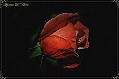 Rosa rossa - Gennaio-2017 (agostinodascoli) Tags: rosa rosso nikon nikkor nature cianciana sicilia fiori colore texture agostinodascoli macro