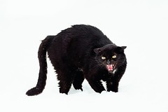 Angry black cat on white background (Nicovski) Tags: ifttt 500px young aggressive anger angry animal background beautiful black brown cat conflict cute danger domestic face fangs fear feline frightened fur furious furry green grey growl growling head hissing kitten kitty looking mammal mouth nature open pet portrait predator sight snow striped teeth tongue whisker white wild