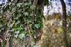 English Ivy (Andrew Laws) Tags: trre trunk wood bark vine vining natural nature ivy dof depth bokeh blur defocus nikon d7100 green fall autumn color colorful
