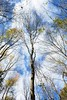 Looking Up (LauraJSwindle) Tags: nikond7100 ny longisland newyork outdoors clouds trees branches nature muttontownpreserve skies above iloveclouds 2016 botanical autumn baretrees fall blueskies benches wantagh usa muttontownnaturepreserve naturepreserve naure foliage