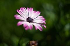 Purple African Daisy (Sugi Ong) Tags: carl zeiss jena biotar bellows vintage prime 58mm bokeh dof handheld garden