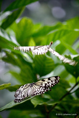 "Butterfly Mating (Aruba) (runintherain) Tags: runintherain canon450dxsi canon canonxsi caribbean lesserantilles flora nature outdoor animals butterflies bokeh aruba ""netherlands"" abcislands dutchcaribbean arubabutterflyfarm oranjestad"