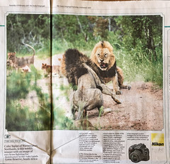 How to get 400,000 views in one day - Explored (Sheldrickfalls) Tags: saturdaytelegraph telegraph thebigpicture sabisands nottensbushcamp lion lions newspaper competition