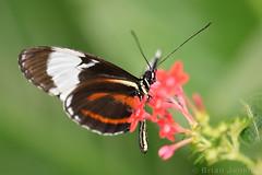 Butterfly (Bri_J) Tags: tropicalbutterflyhouse northanston sheffield southyorkshire uk butterflyhouse nikon d7200 yorkshire butterfly macro
