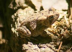 Fowler's Toad (Bufo fowleri) (kecheeks803) Tags: amphibian toad fowlerstoad sumternationalforest modoctrail
