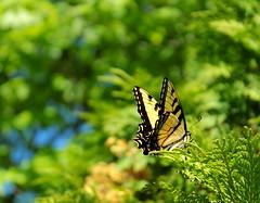 Butterfly on Cedar