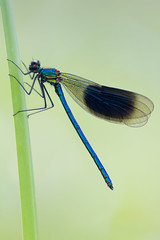 Banded Demoiselle (Calopteryx splendens) (Phil Carpenter) Tags: nature damselfly odonata bandeddemoiselle