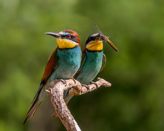 hungary dragonfly pair beeeaters naturethroughthelens andymorffew morffew