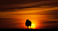 The black sheep of the family... (Jan Wedema) Tags: sunset pentaxk10d theblacksheepofthefamily jeeeweee janwedema