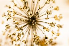 Giersch_5046-2 (waldemar.langolf) Tags: closeup pflanze blume hintergrund kerbel blumenmuster wildpflanze getrockneteblumenmuster