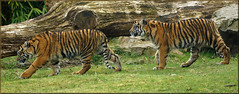 Sumatran tiger cubs on adventure (Foto Martien) Tags: holland cup netherlands dutch sisters cat sumatra indonesia zoo cub kat sony tiger arnhem nederland twin lara bigcat burgers tess sumatrantiger wildcat tijger janine tigress veluwe indonesië a77 dierentuin gelderland dierenpark 70300 jarum sumatera rimba whelp aryo sumatratiger welp nonja pantheratigrissumatrae sumatraansetijger burgersdierenpark bedreigdediersoort tigredesumatra tijgerin macansumatra harimausumatera martienuiterweerd martienarnhem fotomartien sonyslta77v sonyalpha77 geotaggedwithgps endangeredanimalspecies tamron70300mmf456sp koninklijkeburgerszoo