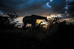 Nairobi National Park (rabbit.Hole) Tags: giraffe nairobi nairobinationalpark kenya africa wildlife 15challengeswinner rabbitholephotography gsmatthews
