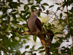 Mountain Imperial Pigeon _ Fraser Hill (mahi mahi 163) Tags: pigeon 600mm bukitfraser malaysia