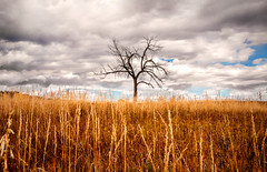 Tree (Kevin Casey Fleming) Tags: tree field vivid colorful colorado color sharp sharpfocus cloudy clouds sky wheat grass hill stark environment