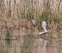 Gavilán común / Accipiter nisus / Eurasian sparrowhawk (vic_206) Tags: gaviláncomún accipiternisus eurasiansparrowhawk bird pájaro deltadelllobregat canoneos7d canon300f4liscanon14xii agua water