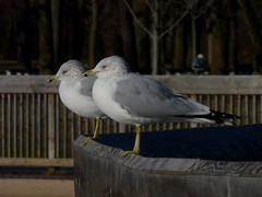 Ring-billed Gulls (Dendroica cerulea) Tags: ringbilledgull larusdelawarensis larus laridae lari charadriiformes aves gull bird birds raritanestuarycbc winter johnsonpark highlandpark middlesexcounty nj newjersey