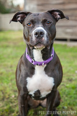 PSVC_20170106_IMG_2950.jpg (publicserviceco) Tags: doggo portrait backyard cute dog pitbull ball blackgrass rescuedog play adopt