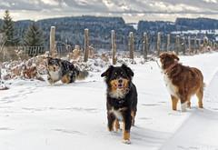Lady, Hanoi & Ruby's snow adventures (franki2correze) Tags: australian shepherds berger australien dog chien outdoors snow corrèze millevaches meymac