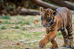 Tiger cub (rudydlc81) Tags: tigercub cub dczoo washingtondc