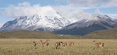 Chile (richard.mcmanus.) Tags: gettyimages mcmanus animal mammal guanaco torresdelpaine southamerica chile