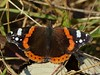 Red Admiral (ukstormchaser (A.k.a The Bug Whisperer)) Tags: red admiral admirals uk butterfly butterflies fly flies animal animals wildlife milton keynes wood woodland brambles basking december