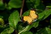 Calospila cilissa (zimbart) Tags: centralamerica costarica cahuitanationalpark cahuita fauna arthropoda lepidoptera insects rhopalocera butterflies riodinidae calospila calospilacilissa