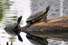 P1400912 copy (danniepolley) Tags: turtle nature florida explore